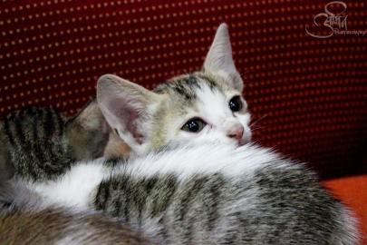 Soft kitty, Warm kitty, Little ball of fur. Happy kitty, Sleepy kitty, Purr Purr Purr...